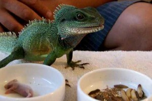 The Chinese Water Dragon Diet to Keep Them Healthy